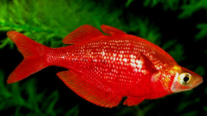 Glossolepis incisus (Arco-Íris Vermelho)